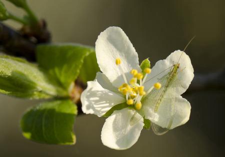 chrysope: fleur de prunier et les insectes chrysope rep�r�s Chrysopa perla