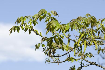 walnut tree: Walnut tree in spring
