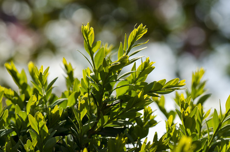 boxwood: evergreen boxwood Buxus sempervirens