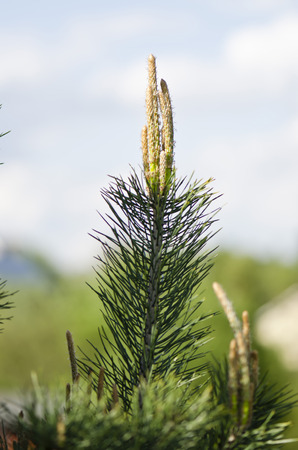 pinus sylvestris: Pine Forest Pinus sylvestris