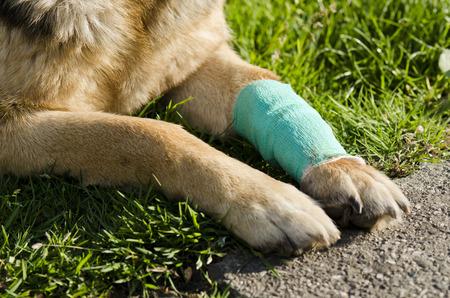 bandaged: Dog and bandaged paw