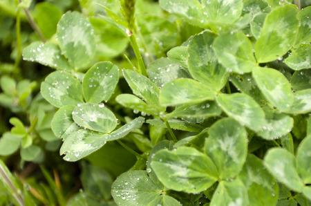 trifolium: Red Clover Trifolium pratense