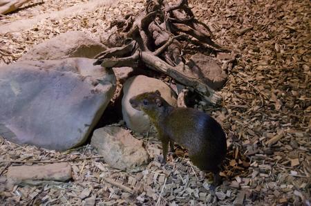 agouti: agouti rodent