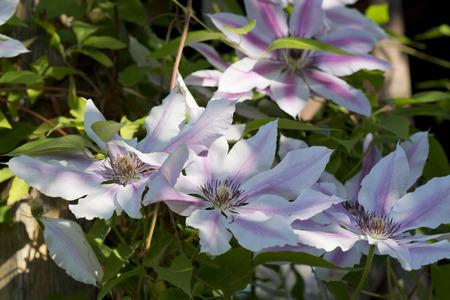 clematis flower: flower clematis Stock Photo