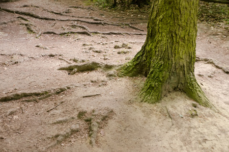 trampled: tree trunk and roots protruding from the ground Stock Photo