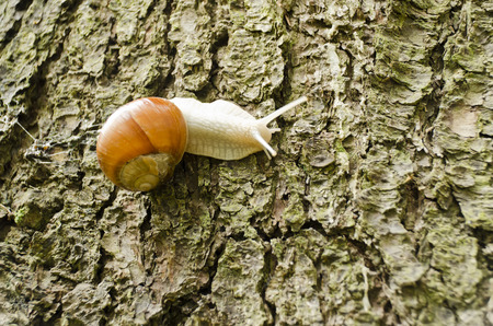 crack climbing: snail crawling on the trunk of the spruce
