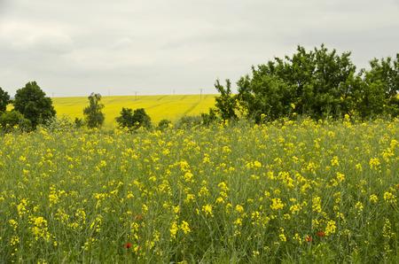 oilseed: plant oilseed rape