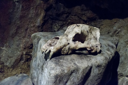 archaeologists: bear skull on stone Stock Photo
