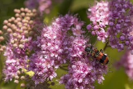 longhorn beetle: longhorn beetle on flowers plants