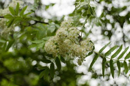 eberesche: Blumen rowan