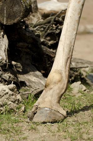 hoof: hoof from giraffes Stock Photo