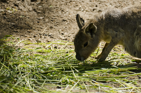 patagonian: Patagonian Mara eat