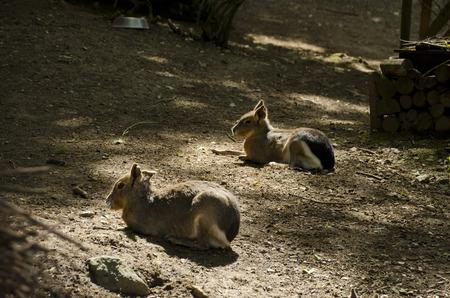 patagonian: Patagonian Mara resting
