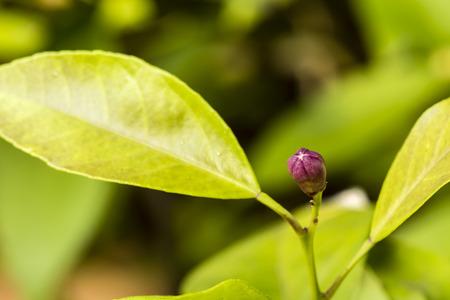 mandarin: mandarin bud