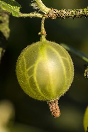 gooseberry bush: gooseberry fruits on the bush and dark background
