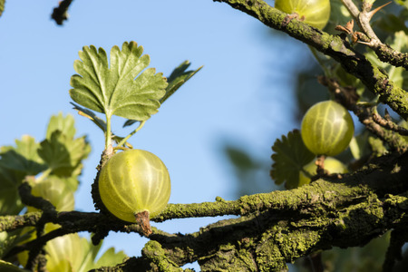 gooseberry bush: gooseberry fruits on the bush and blue sky in the background Stock Photo