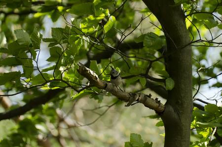 chickadee: Chickadee on a beech tree