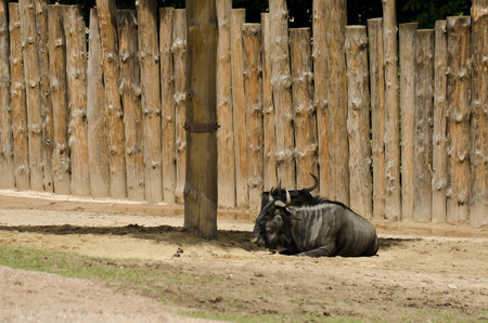 ungulates: gnu , blue wildebeest resting in the shade