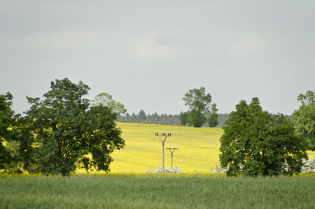 canola plant: electrical pylons and leadership in the field among the trees