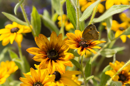 Arnica: arnica flowers and butterfly with eye