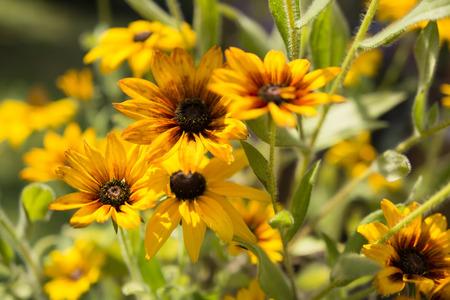 Arnica: arnica flower