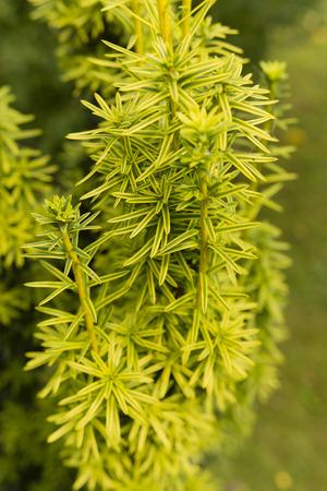 juniper: ornamental juniper Stock Photo