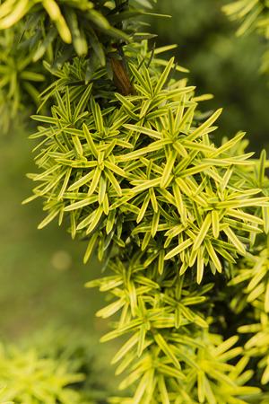 a juniper: ornamental juniper Foto de archivo