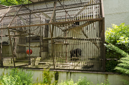 chimpanzee: chimpanzee in the cage