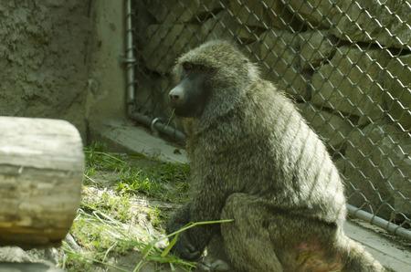 baboon: feeding baboon Stock Photo
