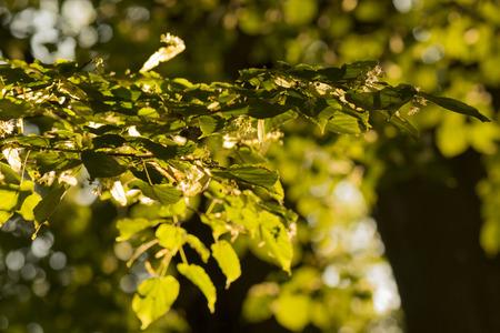 tilo: tilo florece rama con iluminado por el sol