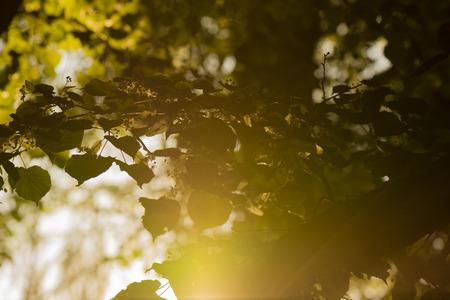 linden blossom: linden blossoms branch with sunlit