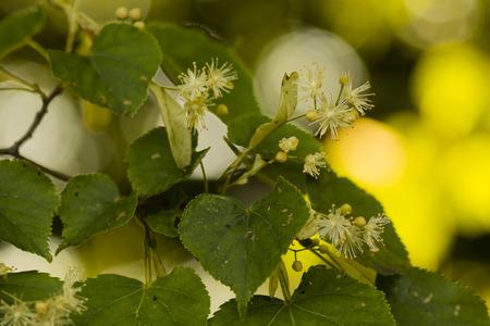 linden blossom: linden blossom on the tree