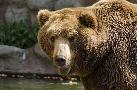 wet bear: Brown Bear detail on the head