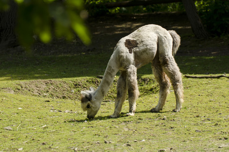 grazing: llama grazing