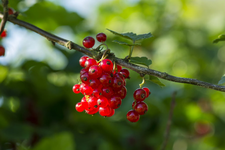 red currant on the bush 스톡 콘텐츠