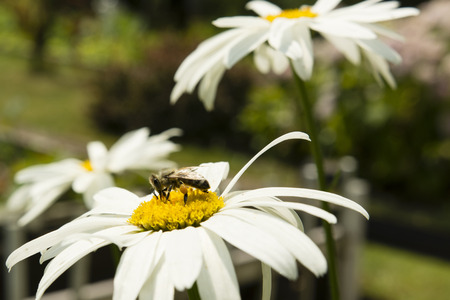 bee on flower: daisy flower and bee