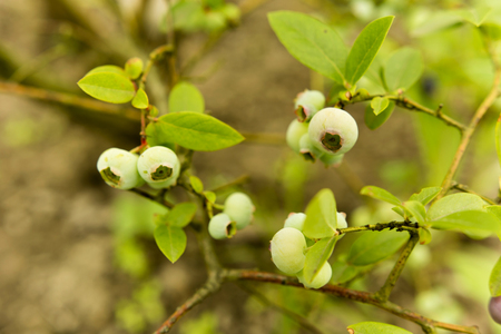 matures: Canadian blueberries ripening on the bush Stock Photo