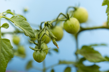blue green background: Green tomatoes on the plant with a blue background