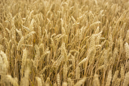 grain fields: grain fields ripening