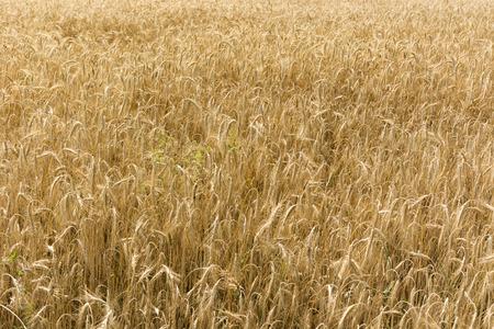 ripened: ripened barley field Stock Photo