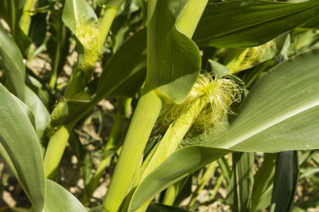 matures: Corn growing in the field Stock Photo