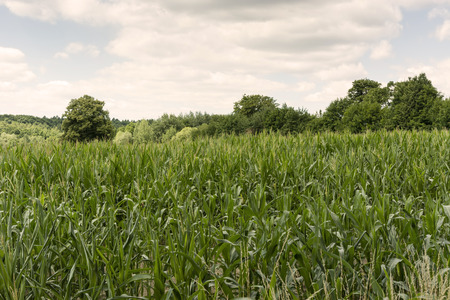 matures: corn growing on a field and trees in the background Stock Photo