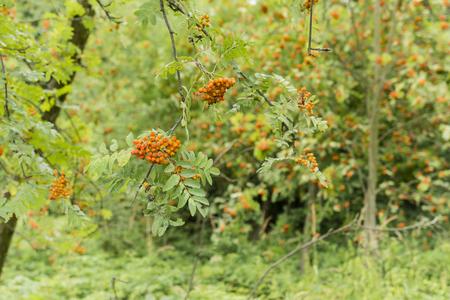 eberesche: orange Frucht Rowan