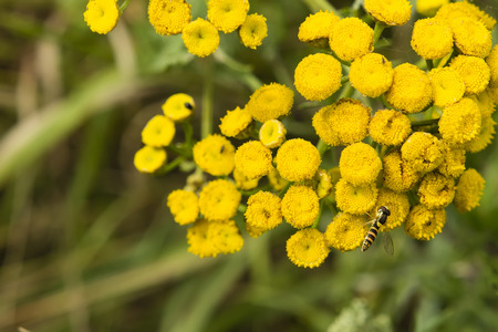 marmelade: Marmelade striped, wasp fly and flower tansy