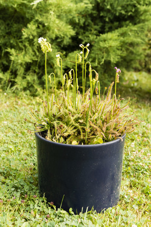 carnivorous: carnivorous plants in a pot Stock Photo