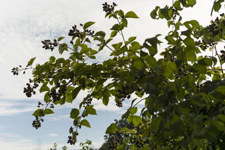 blackberry bush: fruits and blackberry bush backlit