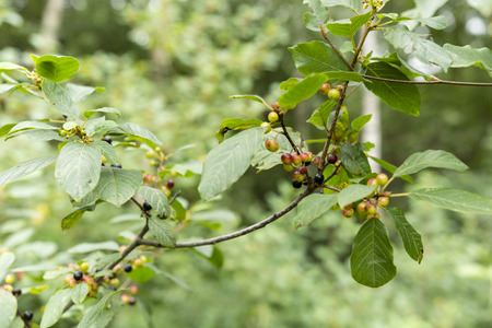 buckthorn: Frangula alnus, Alder Buckthorn and fruits Stock Photo