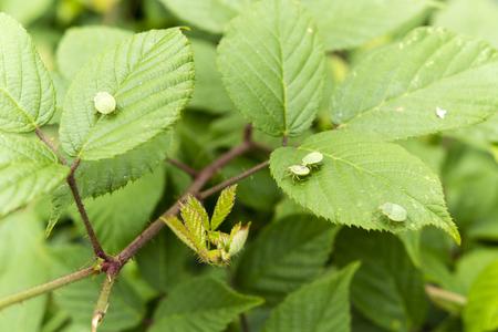 palomena: Palomena prasina, flat green insects blackberry leaf on sea