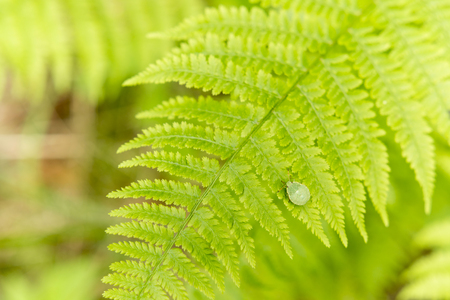 prasina: Palomena prasina, flat green insect on a leaf ferns in the sun Stock Photo