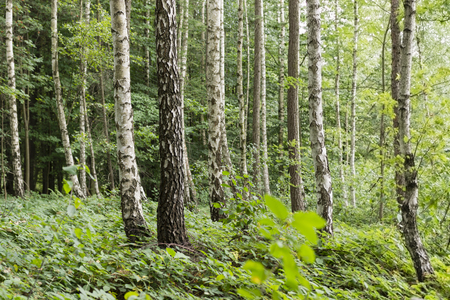 subtlety: birch forest and blackberry growing on the earth